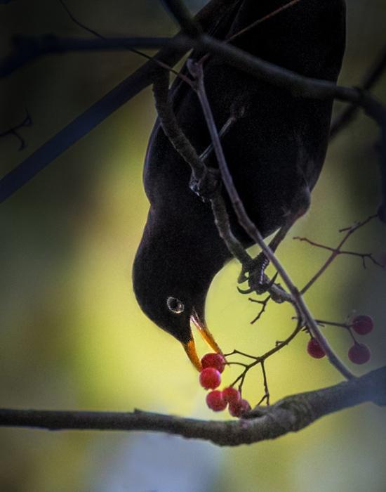 Mustarastas nautiskelee - Kuva: Esa Mälkönen