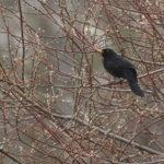 Mustarastaskoiras keväisessä pensaassa - Kuva Esa Mälkönen
