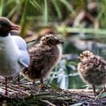 Naurulokilla on poikaset - Kuva: Timo Leppäharju
