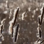 Osmankäämit - Siementen lähtöaika - Kuva Paul Stevens