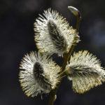 Paju kukkii -kuva Tommi Heinonen