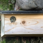 Vallattu pikkuvarpusen pesä - Kuva: Esa Mälkönen