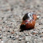 Puuntuhoojan toukka - kuva Timo leppäharju