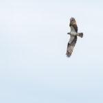 Sääksi Nuottalahdella- Kuva Paul Stevens