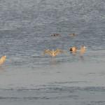 Puron suulla odottelee runsaasti lintuja, harmaahaikaroitakin - Kuva: Tommi Heinonen