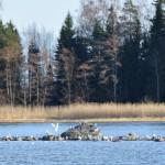 Sataman lokkiluoto - Kuva: Tommi Heinonen