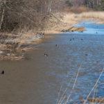Sinisorsat purossa-Kuva Paul Stevens