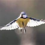 Sinitiainen - Kuva Esa Mälkönen