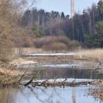 Sinisorsat hallitsevat puronrantoja - Kuva: Tommi Heinonen