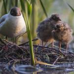 Naurulokin poikaset ovat aamu-unisia - Kuva: Tomi Järvinen