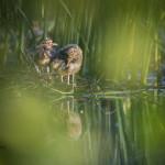 Naurulokilla on poikaset - Kuva: Tomi Järvinen