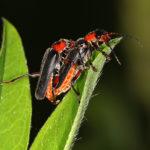 Sylkikuoriaiset, hohtosinisiipi ja muita hyönteisiä – Viikko 23/2019