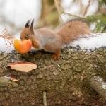 Ruokintapaikan orava. Kuva Mikko Joensivu