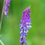 Hiidenvirna kukkii - Kuva: Paul Stevens