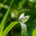 Lanttuperhonen - Kuva: Paul Stevens