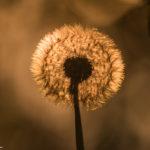 Voikukka auringon valossa-Kuva Paul Stevens