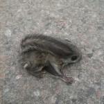 Liito-oravan poikanen - Kuva: Kati Riuttala