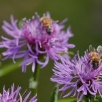 Ahdekaunokeilla näkee runsaasti mehiläisiä - Kuva: Jukka Ranta