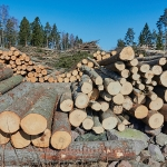 Puun kaatoa - Kuva: Jukka Ranta