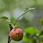 Omena tuottaa satoa - Kuva: Jukka Ranta