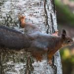 Orava. Kuva: Jukka Ranta