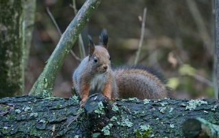Orava on löytänyt tiensä ruokintapaikalle - Kuva: Jukka Ranta