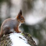 Orava. Kuva: Janne Haapa-aho
