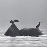 Sataman luodon merimetsot - Kuva: Tommi Heinonen