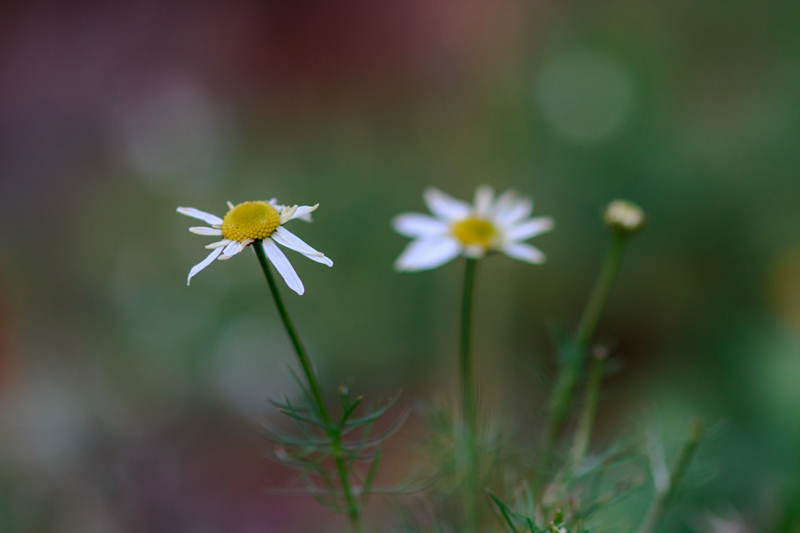 Marraskuun kukka, saunio - Kuva: Jukka Ranta