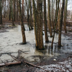 Tallitien metsä on paikoin veden peittämä- Kuva: Jukka Ranta