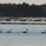 Laulujoutsenia kylässä - Kuva: Tommi Heinonen