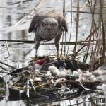 Kanahaukan lounas - Kuva: Tommi Heinonen