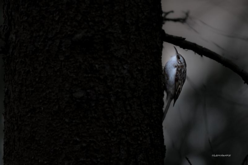 Puukiipijä ja marraskuun valo - Kuva: Timo Leppäharju