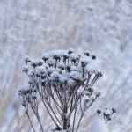 Lumen ja pakkasen koristamaa - Kuva: Tommi Heinonen