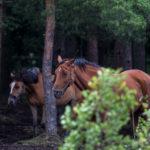 Hevosten laidun on laajentunut metsään - Kuva: Timo Leppäharju