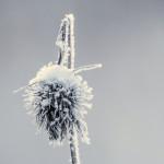 Lumen ja pakkasen koristamaa - Kuva: Timo Leppäharju