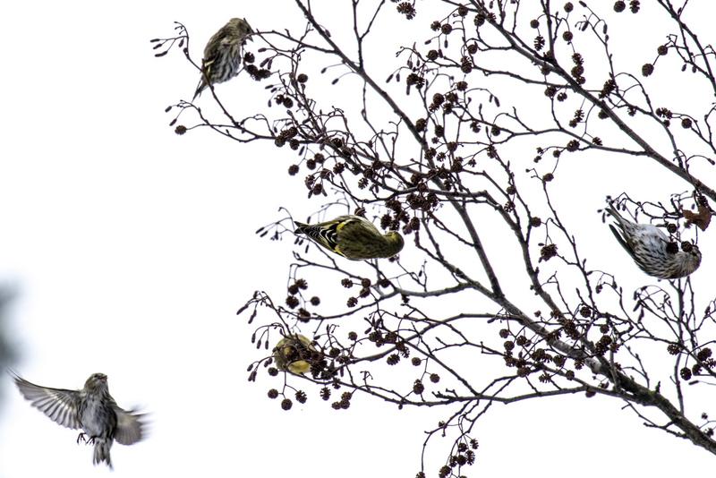 Urpiaiset ja vihervarpuset viihtyivät puissa - Kuva: Timo Leppäharju