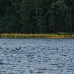 Nokikanoja kokoontunut Nuottalahdelle - Kuva: Paul Stevens