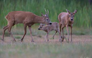 Metsäkaurisperhe - Kuva: Paul Stevens