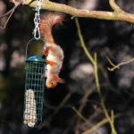 Orava varkaissa ruokintapaikalla - Kuva Mehmet Cadiroglu