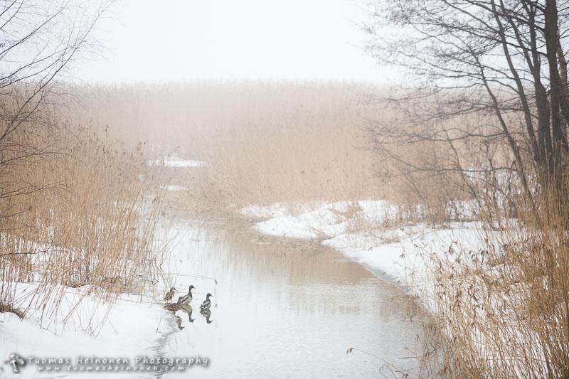 Sorsia oli jo purossa - Kuva: Tuomas Heinonen