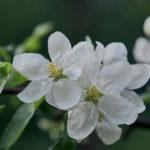 Omenapuu kukassa - Kuva Jukka Ranta