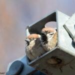 Pikkuvarpusten pesimäpuuhat - Kuva Bore Wanner