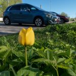 Parkkipaikan tulppaani - Kuva Mehmet Cadiroglu