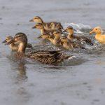 Kylpyankka perheinen - Kuva Paul Stevens