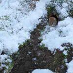 Metsämyyrä kolollaan - Kuva Esa Mälkönen