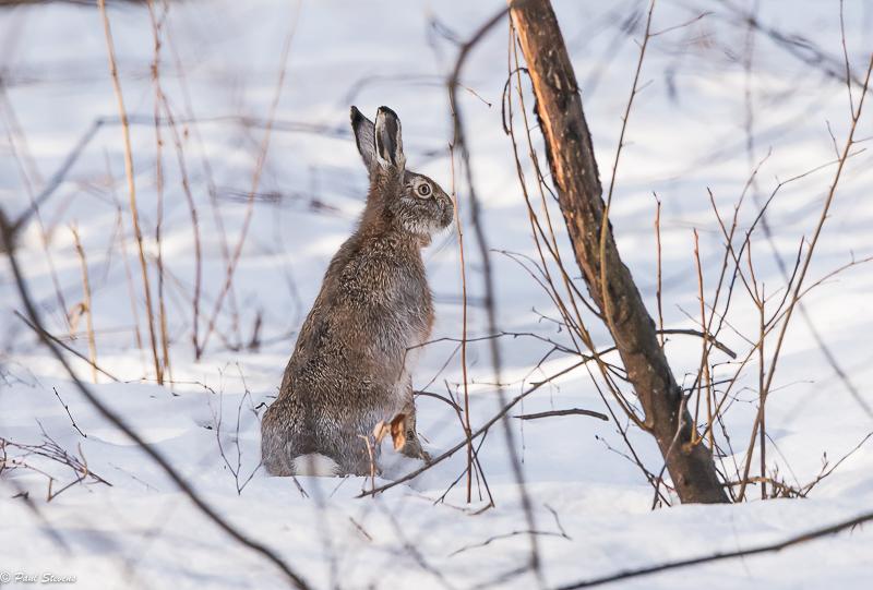 Rusakko talvipuvussaan - Kuva Paul Stevens