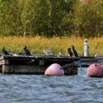 Hylätyt laiturit merimetsojen valtaamina- Kuva Tommi Heinonen