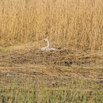 Kyhmyn pesä puronsuussa - Kuva: Paul Stevens