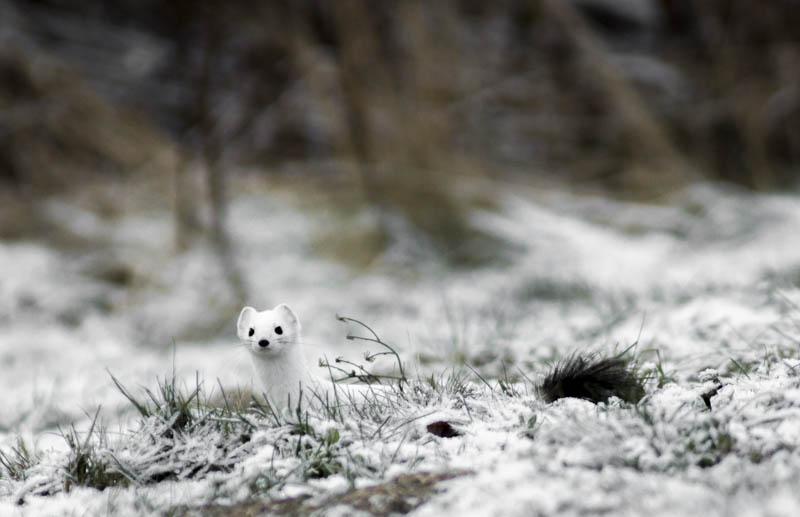 Kärppä saalisti viikolla - Kuva: Mikko Joensivu